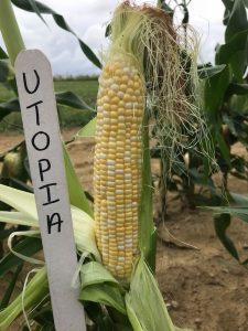 Ear of sweet corn: Utopia variety