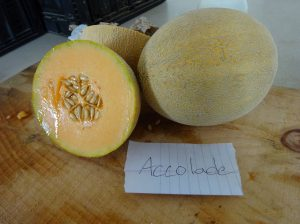 Melon: Accolade variety