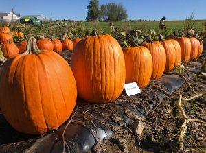 Pumpkins: Big Loretta variety