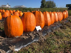 Pumpkins: Early Giant variety