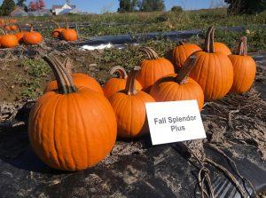 Pumpkins: Fall Splendor Plus variety