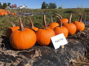 Pumpkins: Field Trip variety