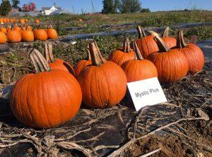 Pumpkins: Mystic Plus variety