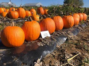 Pumpkins: Orange Surprise variety