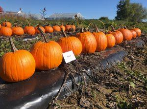 Pumpkins: Rhea variety