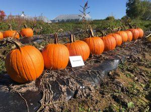 Pumpkins: Secretariat variety