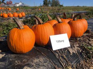 Pumpkins: Tiffany variety