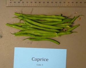 Snap beans: Caprice variety