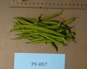 Snap beans: PV-857 variety