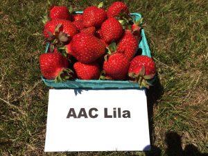 Fresh strawberries: AAC Lila variety