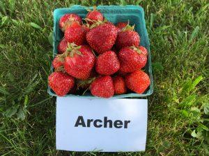 Fresh strawberries: Archer variety