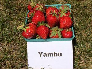 Fresh strawberries: Yambu variety