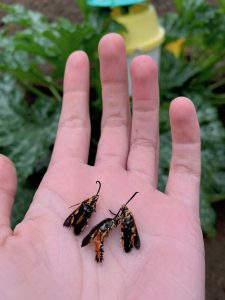 Three Squash Vine Borer Moths