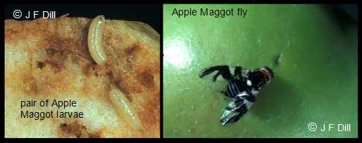 Apple Maggot (both fly stage and larvae are shown)