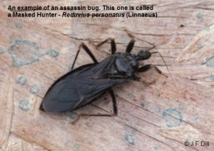 a type of Assasin Bug called a Masked Hunter