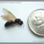 Carpenter Ant Queen - winged stage