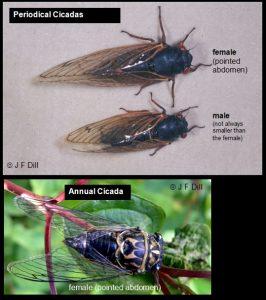 Photo comparing Periodical Cicadas with an Annual Cicada