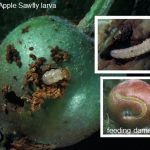 Photos of European Apple Sawfly (larvae)