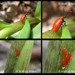 Lily Leaf Beetle (multiple images)
