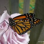 photo of a Monarch Butterfly resting on a rose