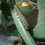 photo of a pair of mature Monarch caterpillars