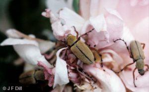 Rose Chafer beetles