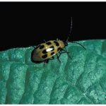 Photo of a Southern Corn Rootworm beetle