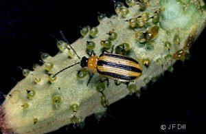 a Striped Cucumber Beetle