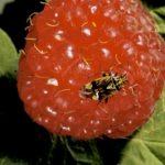 Tarnished Plant Bug damage on a raspberry
