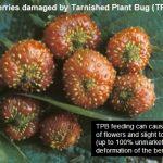Tarnished plant bug damage on strawberries