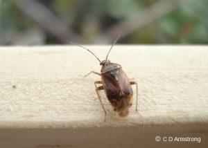 a Tarnished Plant Bug