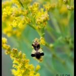 an Ambush Bug on some goldenrod flowers
