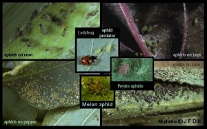 photo comprised of several different images of different kinds of aphids