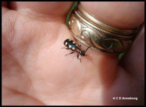 a Common Asparagus Beetle