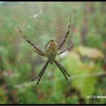a Banded Garden Spider (Banded Argiope) (harmless)