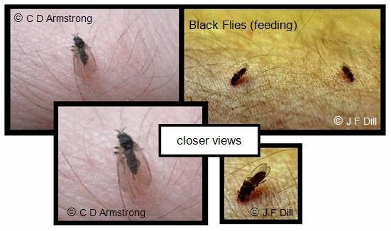 A composite photo that shows two images of three black flies in total, all starting to feed on a person.