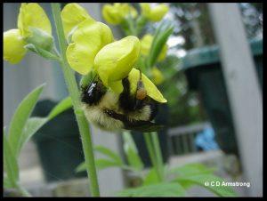 a Bumblebee visiting a Birdsfoot Trefoil flower