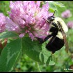 photo of a queen bumblebee on a red clover flower
