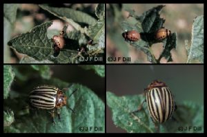 Colorado Potato Beetle - 4 different images together