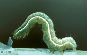 a Cabbage Looper - caterpillar stage