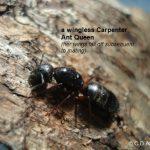 Carpenter Ant Queen (wingless)