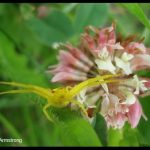 Photo of a crab spider on a clover flower
