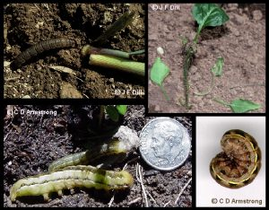 Cutworms - several different specimens