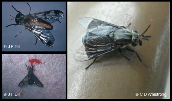 Photo composite of three separate images that each shows a single Deer Fly, relatively close up.