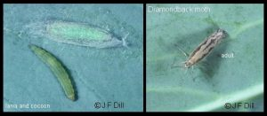 Diamondback Moth - plus larva and pupa