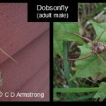 two images, together, showing a Dobsonfly