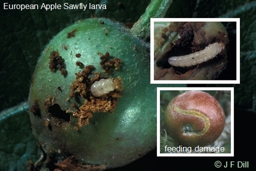 images of a European Apple Sawfly larva
