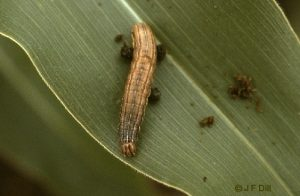 Fall Armyworm - larva and adult