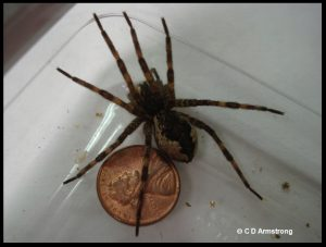 A Fishing Spider (female)