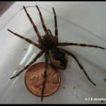 Example of a Fishing Spider (female)